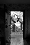 An African Elephant Walking Past an Open Doorway in a Camp