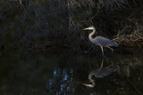 A Great Blue Heron at the Chincoteague National Wildlife Refuge