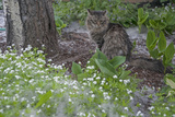 Seed-Bearing 'Cotton' from a Quaking Aspen Tree Falls on a Cat and a Garden of Sweet Woodruff