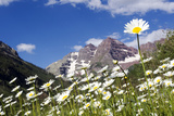 Wild Chamomile  Matricaria Perforata  Flourishes in a Valley of Purple Mountains