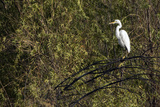 An Egret Perched in a Tree