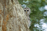 A Juvenile Barred Owl  Strix Varia  Peeks from Behind a Tree