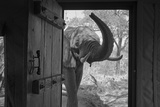 An African Elephant Looking into a Doorway in a Camp