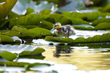Mallard Ducklings  Anas Platyrhynchos  Walk across Lily Pads