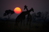 Two Giraffes Silhouetted Against the Setting Sun