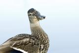 A Mallard  Anas Platyrhynchos  at Beaver Lake