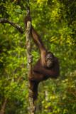 Portrait of a Male Bornean Orangutan  Pongo Pygmaeus  Clinging to a Tree Trunk