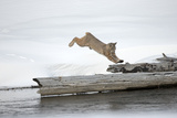 A Bobcat  Lynx Rufus  Leaping onto a Downed Snag