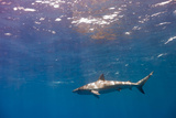 A Galapagos Shark Cruising Near the Surface