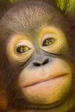 Close Up Portrait of an Infant Bornean Orangutan  Pongo Pygmaeus