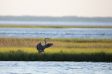 A Great Blue Heron  Ardea Herodias  Readies Itself for Flight