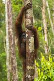 A Bornean Orangutan  Pongo Pygmaeus  Clinging to a Tree Trunk