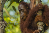 Portrait of a Bornean Orangutan  Pongo Pygmaeus  Clinging to a Tree Trunk
