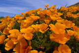 California Poppies  Eschscholzia Californica Californica  Grow on a Hillside