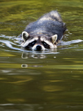 A Common Raccoon  Procyon Lotor  Swims in a River