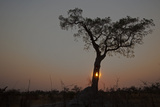 The Sun Setting Behind a Silhouetted Tree