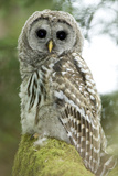 A Juvenile Barred Owl  Strix Varia  Perches on a Tree Branch