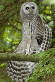 A Juvenile Barred Owl  Strix Varia  Perches on a Tree Branch and Stretches its Wing