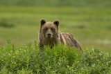 A Grizzly Bear  Ursus Arctos  Stands in the Area of the Sacred Headwaters