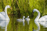 Two Mute Swans  Cygnus Olor  Look over their Two Cygnets