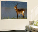 Portrait of a Lechwe Waterbuck Standing in a Spillway