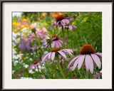 Purple Coneflower and Other Flowers in a Cape Cod Garden