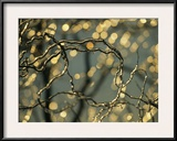 Frozen Twigs of a Corkscrew Willow Sparkle in the Sunlight