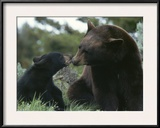 Captive American Black Bear and Cub