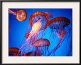 Fleet of Golden  Long-Tentacled Jellyfish  California