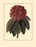 Rhododendron Rojo