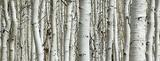 Birch - Tempered Glass Wall Art