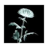 X-Ray Image Flower Isolated on Black   the Pompon Chrysanthemum