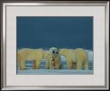 A Trio of Polar Bears (Ursus Maritimus) Playing