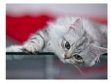 Lovely Kitten Reproduction d'art par Melanie Viola