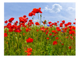 Field Of Poppies - Panoramic View Reproduction d'art par Melanie Viola