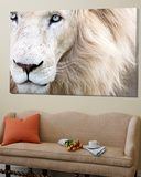 Full Frame Close Up Portrait of a Male White Lion with Blue Eyes. South Africa. Toile Murale Géante par Karine Aigner