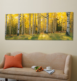 Aspen Trees in Coconino National Forest, Arizona, USA Toile Murale Géante par Unknown Panoramic Images