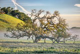 Elegant Oak and Mist  Petaluma Trees  Sonoma County  Bay Area