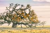Morning Oak and Mist  Petaluma Trees  Sonoma County  Bay Area