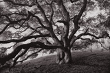 Majestic and Moody Oak  Sonoma Valley  Northern California