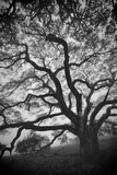 Mood Tree  Oak in Winter in Black and White  Sonoma Couny  Northern California