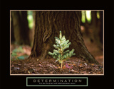Determination – Little Pine