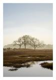 Oak Tree 66
