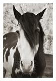 Pale Eyed Stallion