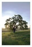 Oak Tree 95