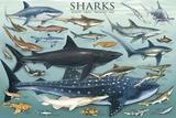 Requins Reproduction d'art par Unknown