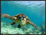 Sea Turtle  Swimming Underwater  Nosy Be  North Madagascar