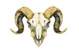 Sheep Skull Isolated on White Background