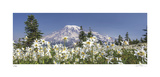 Avalanche Lilies Mount Ranier