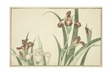 Iris  from the Picture Book of Realistic Paintings of Hokusai (Hokusai Shashin Gafu)  C1814